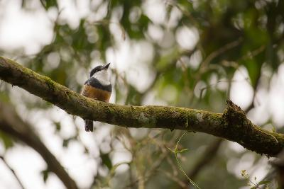 A Buff Bellied Puffbird, Notharchus Swainsoni, on a Branch in Ubatuba, Brazil-Alex Saberi-Photographic Print
