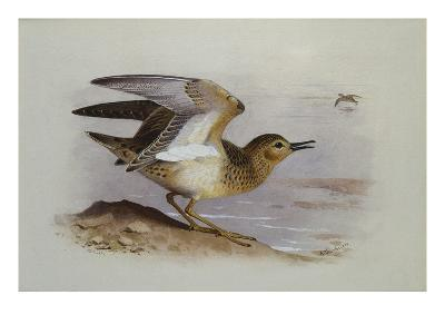 A Buff-Breasted Sandpiper-Archibald Thorburn-Giclee Print