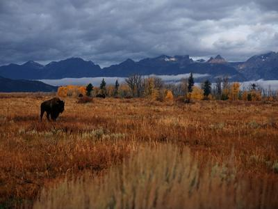 A Buffalo Grazing in Grand Teton National Park-Aaron Huey-Photographic Print