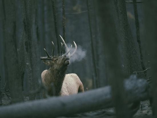 A Bull Elk Bugles, Emitting a Frosty Breath-Michael S^ Quinton-Photographic Print