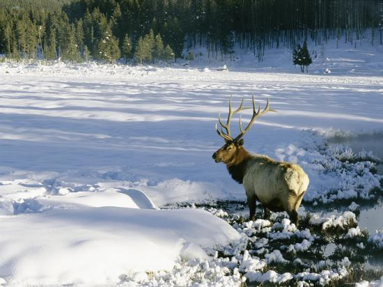 A Bull Elk Walks Through a Snow-Covered Field-Roy Toft-Photographic Print