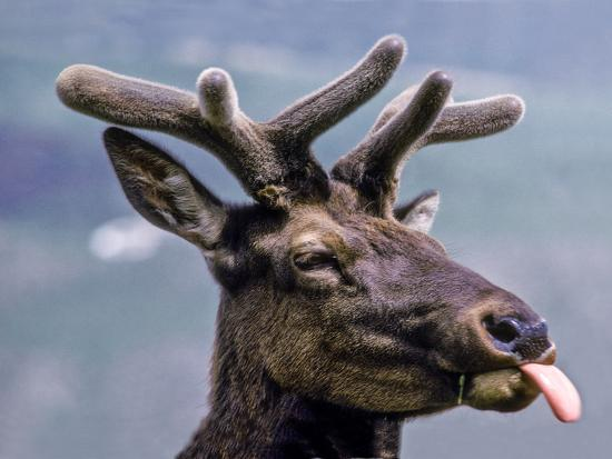 A Bull Elk with New Antler Growth Licks His Lips-Tom Murphy-Photographic Print