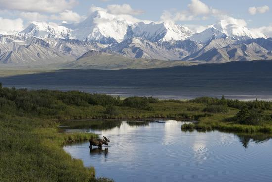 A Bull Moose, Alces Alces, Enters a Kettle Pond in the Backcountry of Denali National Park-Barrett Hedges-Photographic Print