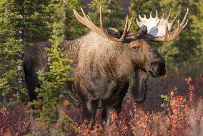 A Bull Moose, Alces Alces, Stands in the Sunlight in Denali National Park-Barrett Hedges-Photographic Print