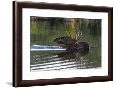 A Bull Moose, Alces Alces, Swims in Denali National Park-Barrett Hedges-Framed Photographic Print