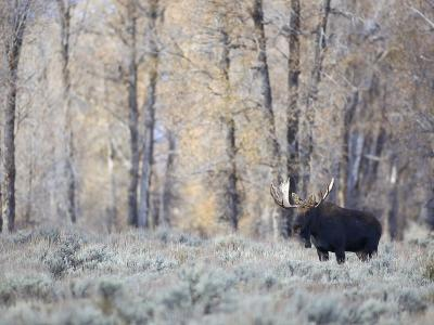 A Bull Moose on an Early Fall Morning in Grand Teton National Park-Drew Rush-Photographic Print