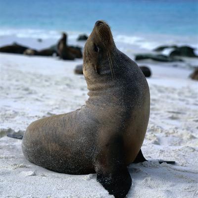 A Bull Sea Lion in Gardiner Bay, Isla Espanola, Galapagos, Ecuador-Wes Walker-Photographic Print