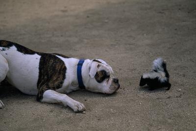 A Bulldog and a Striped Skunk (Mephitis Mephitit) Meet Eye to Eye-Joel Sartore-Photographic Print