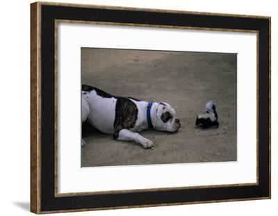 A Bulldog and a Striped Skunk (Mephitis Mephitit) Meet Eye to Eye-Joel Sartore-Framed Photographic Print
