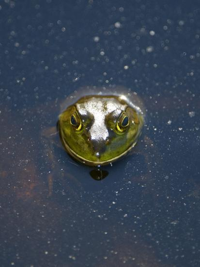 A Bullfrog, Rana Catesbeiana, Sticks its Head Out of the Water-Paul Colangelo-Photographic Print