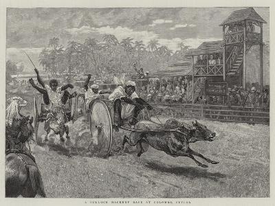 A Bullock Hackery Race at Colombo, Ceylon--Giclee Print