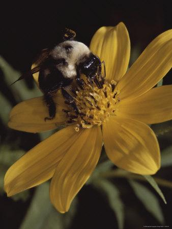 https://imgc.artprintimages.com/img/print/a-bumble-bee-gathers-nectar-from-a-cosmos-like-flower_u-l-p4uq7h0.jpg?p=0