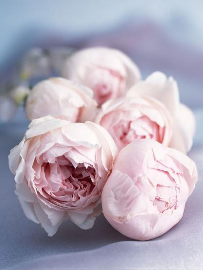 A Bunch of Pink Pastel Roses on a Blue Satin Background-Eugenio Franchi-Photographic Print