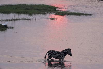 A Burchell's Zebra, Equus Burchelli, Wading in the Chobe River at Sunset-Sergio Pitamitz-Photographic Print