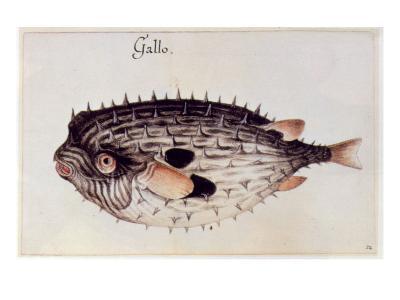 A Burrfish-John White-Giclee Print