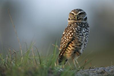 A Burrowing Owl in its Grassland Habitat-Klaus Nigge-Photographic Print