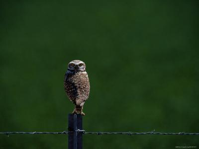 A Burrowing Owl Stares at the Camera-Bates Littlehales-Photographic Print