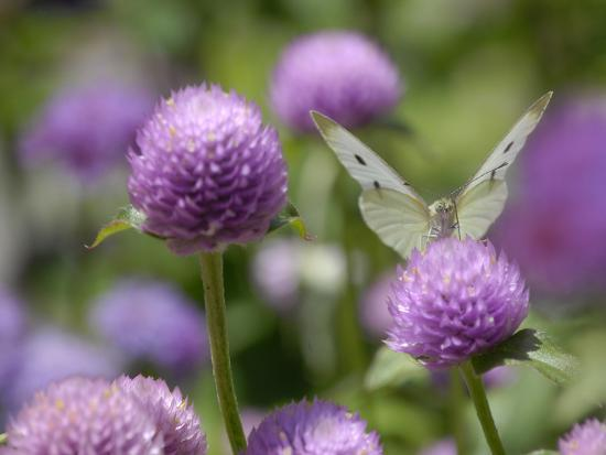 A Butterfly Alighted on a Thistle-Stephanie Lane-Photographic Print