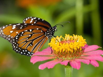 https://imgc.artprintimages.com/img/print/a-butterfly-resting-on-a-flower_u-l-phu6tk0.jpg?p=0