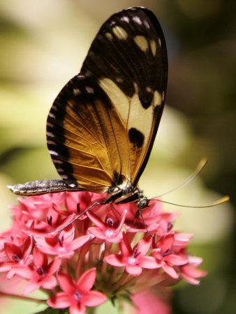 https://imgc.artprintimages.com/img/print/a-butterfly-rests-on-a-flower-at-the-america-museum-of-natural-history-butterfly-conservatory_u-l-q10onjs0.jpg?p=0