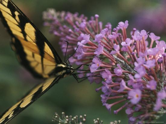 A Butterfly Sips Nectar from a Flower with Its Long Proboscis-Taylor S^ Kennedy-Photographic Print