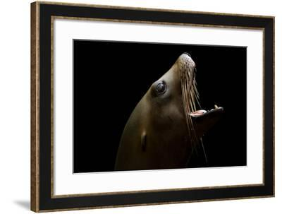 A California Sea Lion, Zalophus Californianus-Joel Sartore-Framed Photographic Print