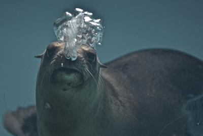 A California Sealion, Zalophus Californianus, Blows Bubbles as it Swims in an Aquarium Tank-Kike Calvo-Photographic Print
