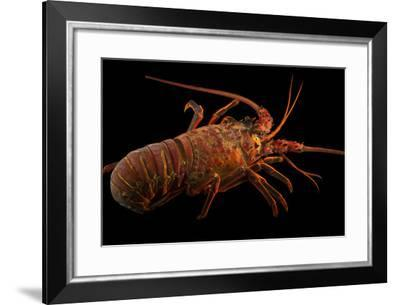 A California Spiny Lobster, Panulirus Interruptus.-Joel Sartore-Framed Photographic Print
