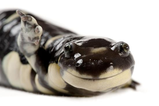 A California tiger salamander, Ambystoma californiense, at the Fresno Chaffee Zoo.-Joel Sartore-Photographic Print