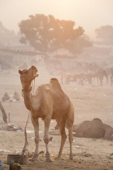A Camel in the Desert at Sunrise-Jonathan Kingston-Photographic Print