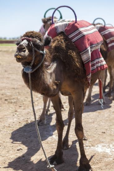 A Camel Just Outside of Marrakesh, Morocco, North Africa, Africa-Charlie Harding-Photographic Print
