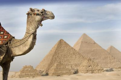 A Camel with the Pyramids in the Background; Cairo,Egypt,Africa-Design Pics Inc-Photographic Print
