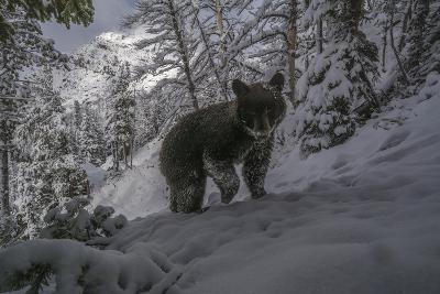 A Camera Trap Captures a Bear at Eagle Pass in Yellowstone National Park-Joe Riis-Photographic Print