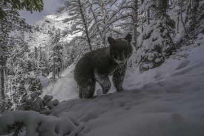 A Camera Trap Captures a Bear at Eagle Pass in Yellowstone National Park  Photographic Print by Joe Riis   Art com