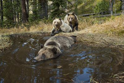 A Camera Trap Captures Grizzly Bears Bathing, Splashing, and Frolicking at a Water Hole-Joel Sartore-Photographic Print