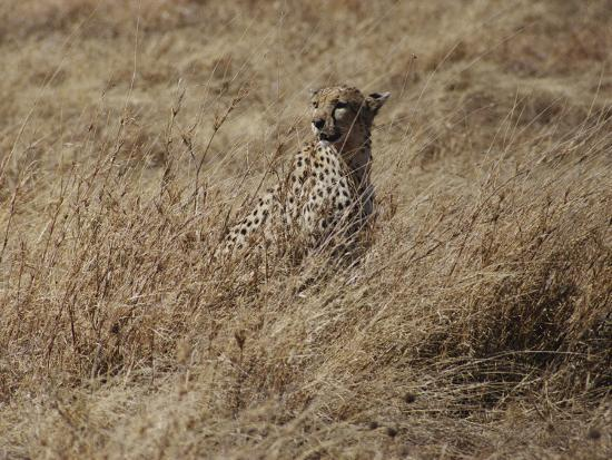 A Camouflaged Cheetah Sits Alone in a Field of Tall Grass in Serengeti National Park-Kenneth Love-Photographic Print