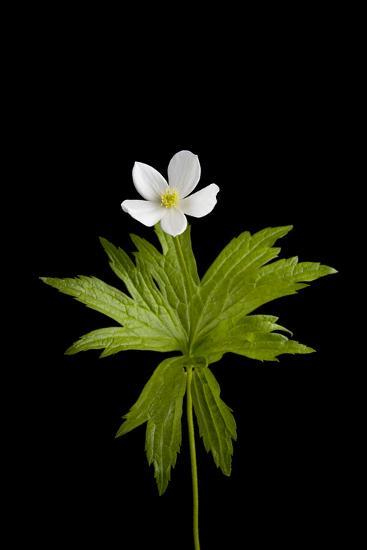 A Canada Anemone Plant, Anemone Canadensis-Joel Sartore-Photographic Print