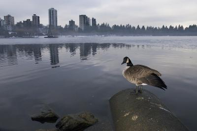 A Canada Goose, Branta Canadensis on a Drainage Pipe in Lost Lagoon-Paul Colangelo-Photographic Print