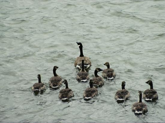 A Canada Goose Leads a Gaggle of Adolescent Geese Through the Water-Robert Madden-Photographic Print