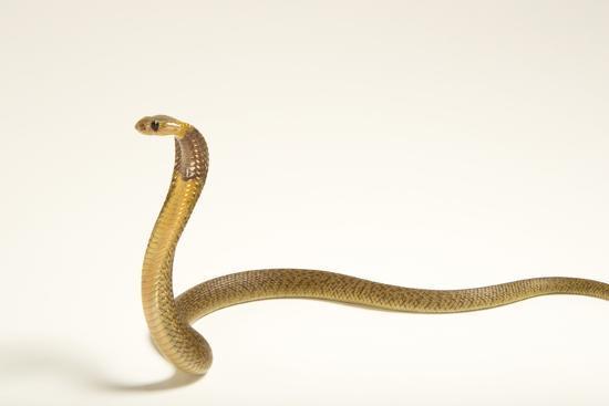 A Cape cobra, Naja nivea, at the LA Zoo.-Joel Sartore-Photographic Print