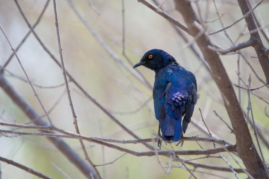A Cape Glossy Starling, Lamprotornis Nitens, Rests on a Branch in Etosha National Park-Alex Saberi-Photographic Print
