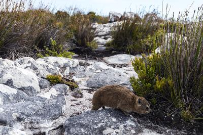 A Cape Hyrax Moving Through the Fynbos on the Summit of Table Mountain-Jason Edwards-Photographic Print