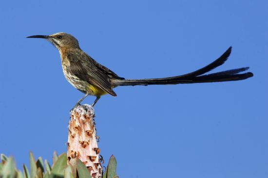 A Cape Sugarbird Perches on a Protea Plant in Cederberg Wilderness Area, South Africa-Keith Ladzinski-Photographic Print