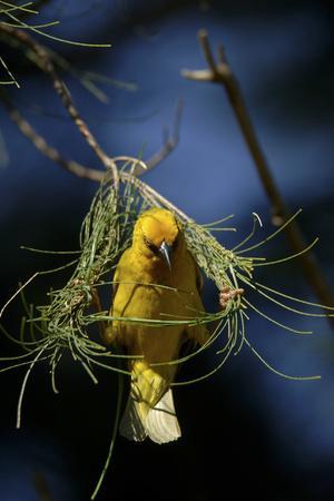 https://imgc.artprintimages.com/img/print/a-cape-weaver-bird-builds-a-nest-in-south-africa_u-l-pu6nid0.jpg?p=0