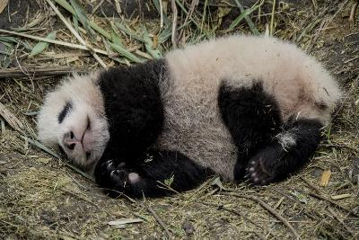 A Captive-Born Giant Panda Cub Resting in its Enclosure-Ami Vitale-Photographic Print