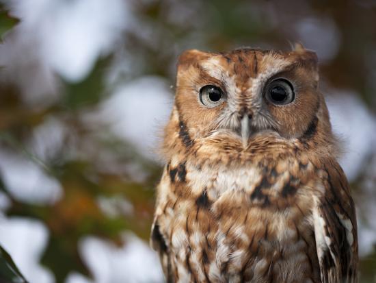 A Captive Eastern Screech Owl, Megascops Asio, at Ryerson Woods-Joel Sartore-Photographic Print