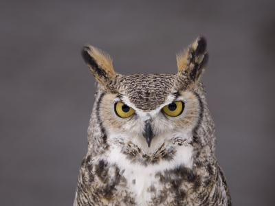 A Captive Great Horned Owl at a Recovery Center-Joel Sartore-Photographic Print