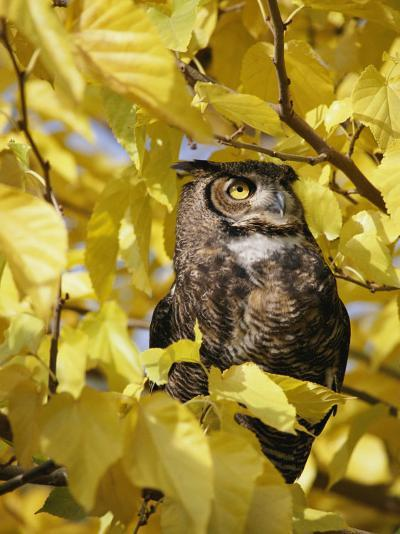 A Captive Great Horned Owl is Perched in a Tree-Roy Toft-Photographic Print