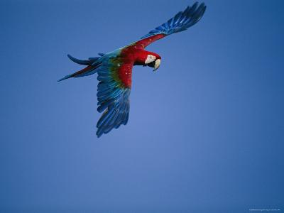 A Captive Green-Winged Macaw Spreads its Wings in Flight-Roy Toft-Photographic Print