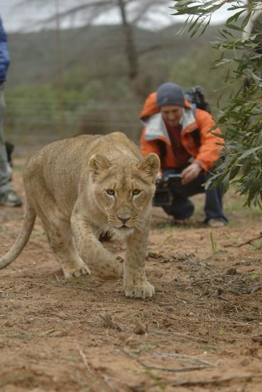 A Captive Lioness Approaches the Camera in South Africa-Keith Ladzinski-Photographic Print